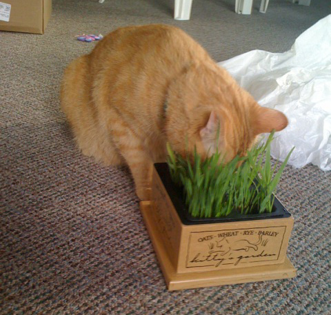 Jack eating kitty grass